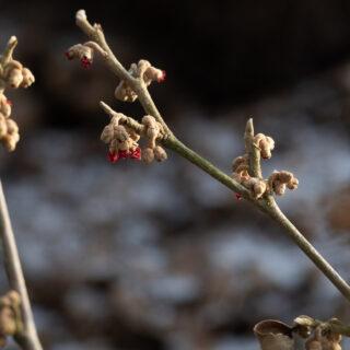 Hamamelis vernalis 'Amethyst' - småblommig trollhassel