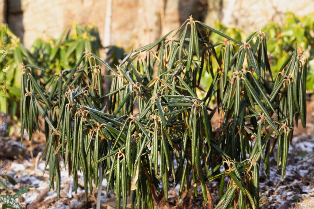 Växthärdighet - rododendron vinteranpassad