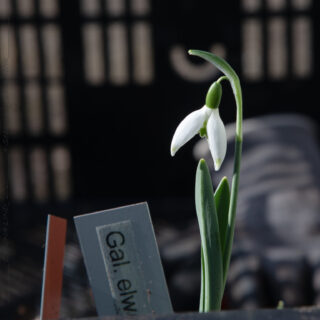 Galanthus elwesii 'Jessica' - turkisk snödroppe