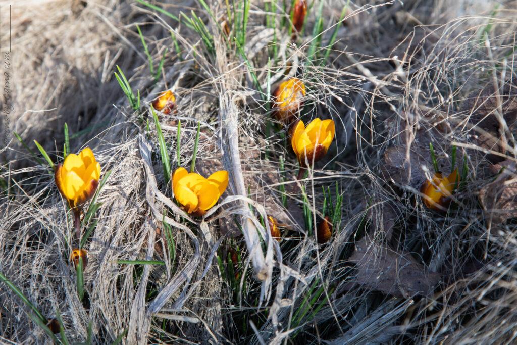 Exploderande - Crocus chrysanthus 'Zwanenburt Bronze'