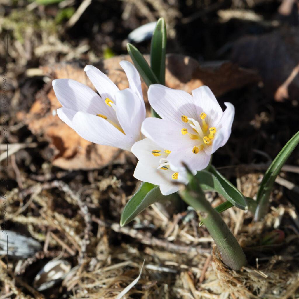Colchicum hungaricum 'Velebit Star'