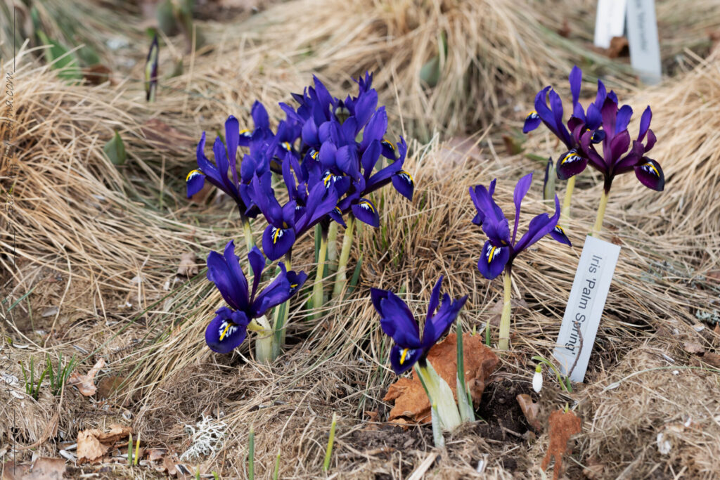Vårlöksblomning - Iris reticulata 'Palm Springs'