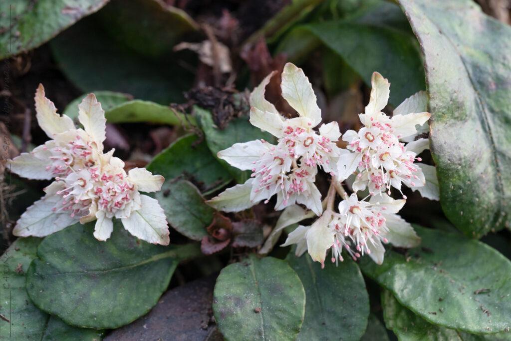 Läckerbitarna - Chrysosplenium macrophyllum - stor gullpudra