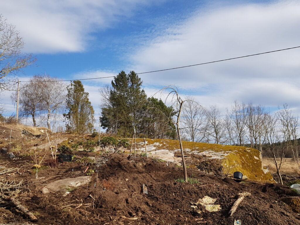 Månskensgult - en ny plantering