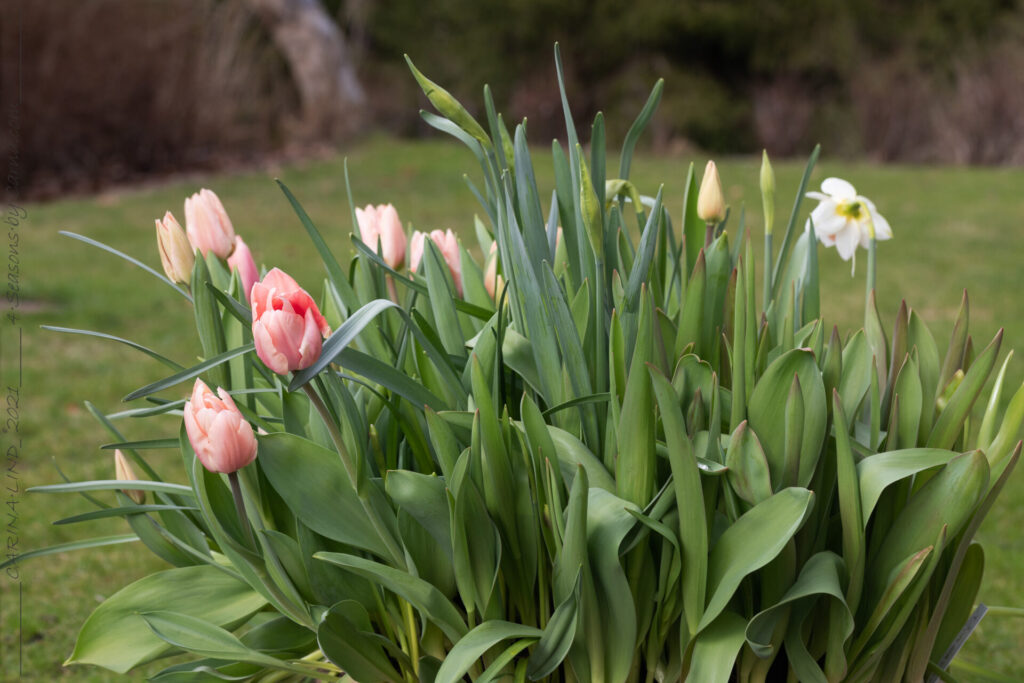 Tulipa 'Apricona'