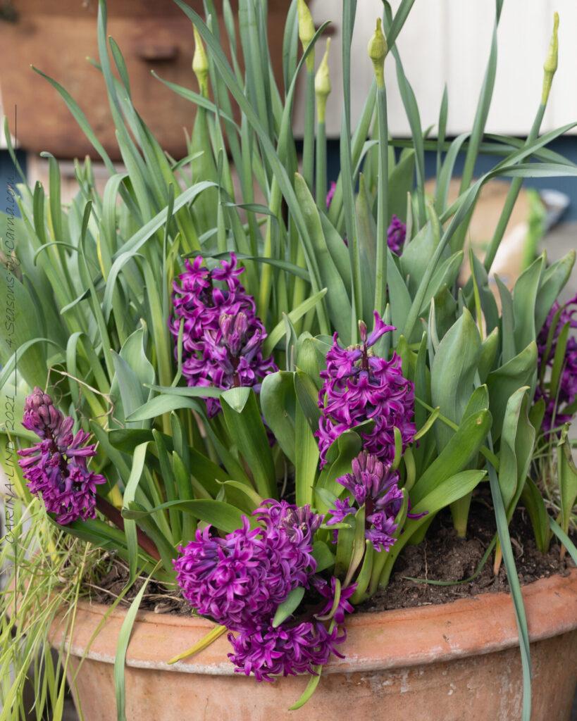 Hyacint - violett