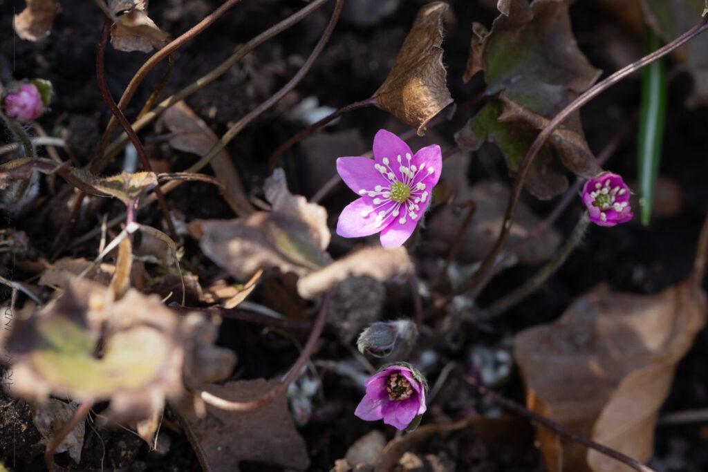 Varierade - Hepatica nobilis 'Rosea'