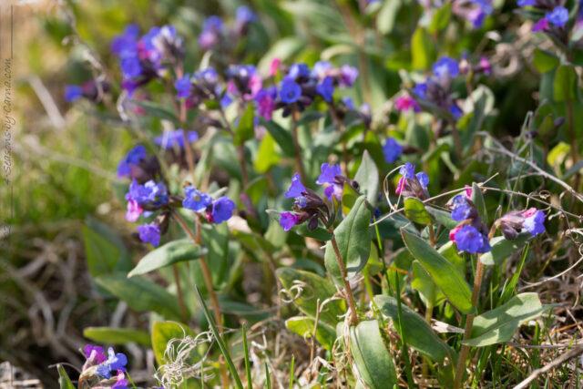 Pulmonaria angustifolia 'Azurea' - lungört