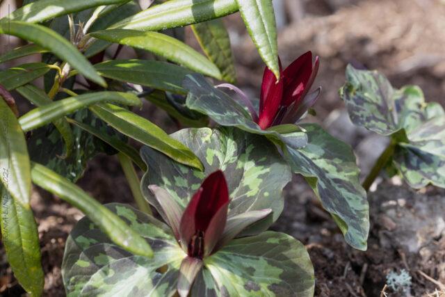 Vår-vår - Trillium sessile