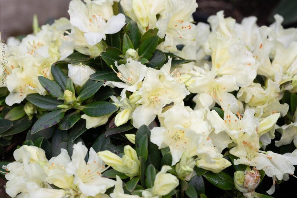 Svavelgul - Rhododendron Keiskei-gruppen 'Patty Bee'