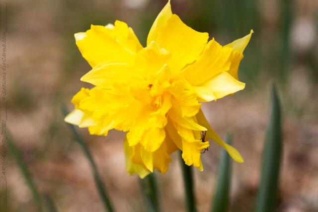 Narcissus pseudonarcissus 'Telamonius Plenus'