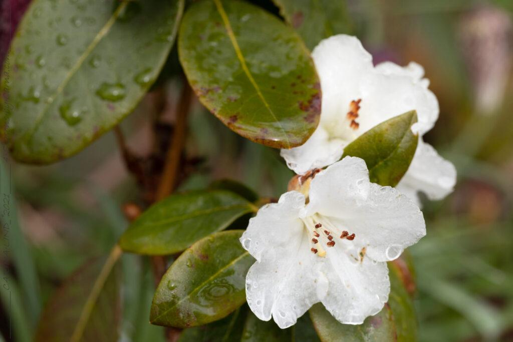 Rhododendron 'Eider'