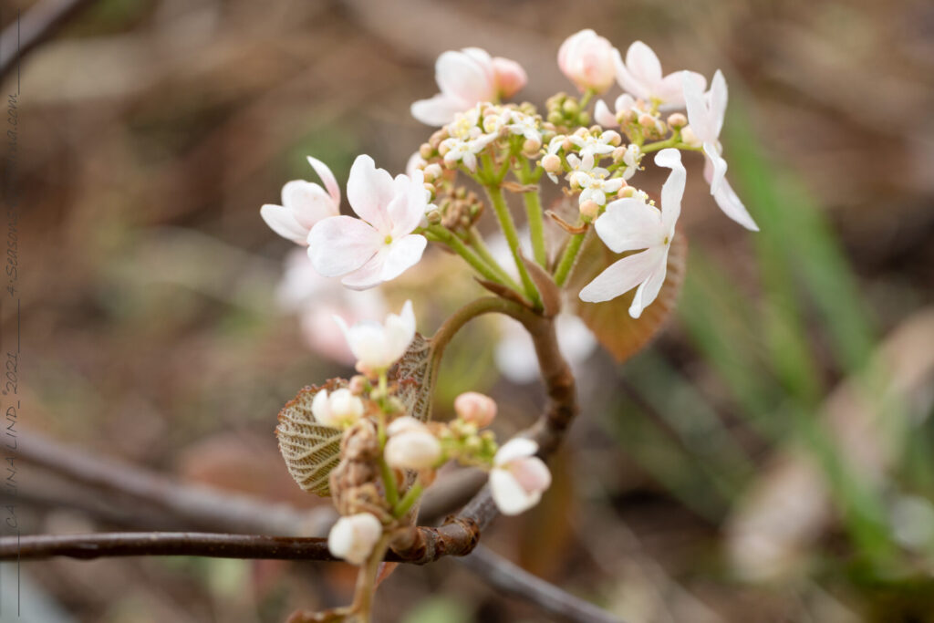 Senvår - Viburnum furcatum 'Pink Parasol' - gaffelolvon