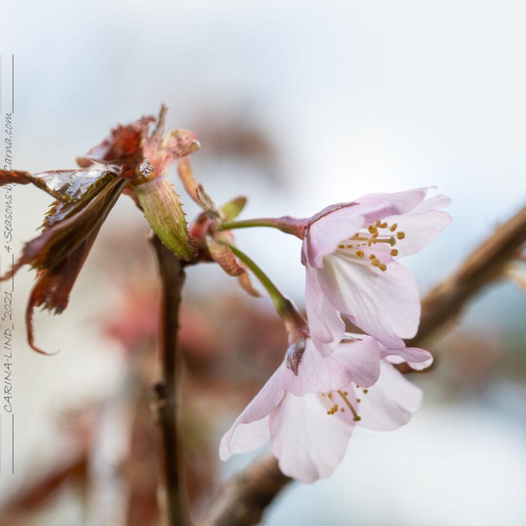 Senvår - Prunus - prydnadskörsbär