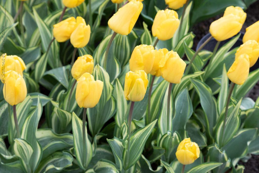 Tulpanblomningen - Tulipa 'Yellow Wave'