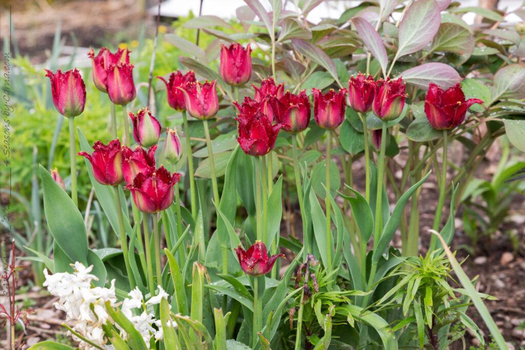 Tulipa 'Pacific Pearl' - tupan