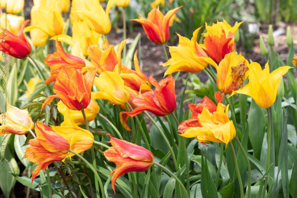 Tulpanblomningen - Tulipa 'Vendee Globe' - liljeblommande tulpan