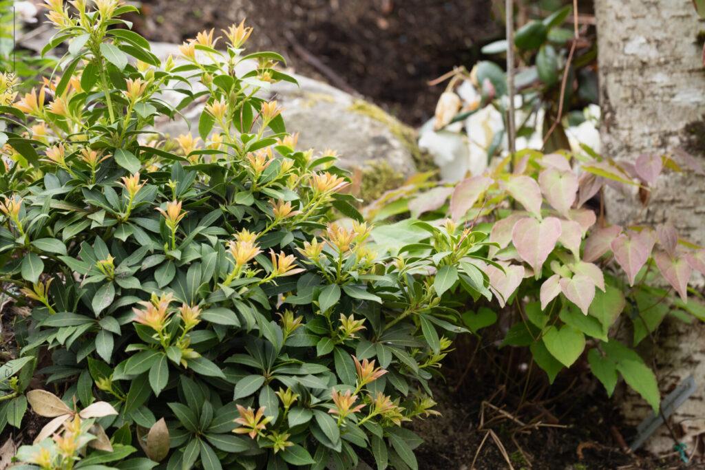 Pieris japonica 'Debutante' och Epimedium grandiflorum 'Pierre's Purple'