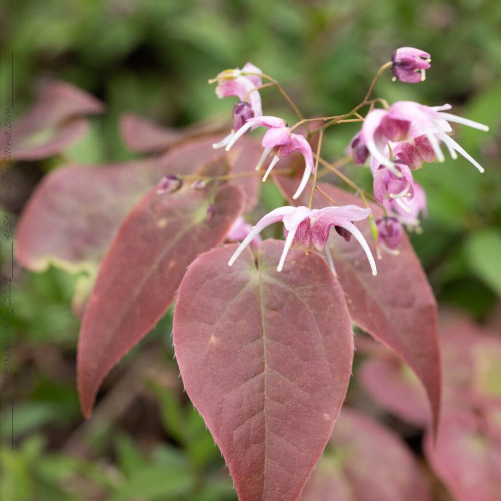 Epimedium grandiflorum 'Pretty in Pink' - sockblomma