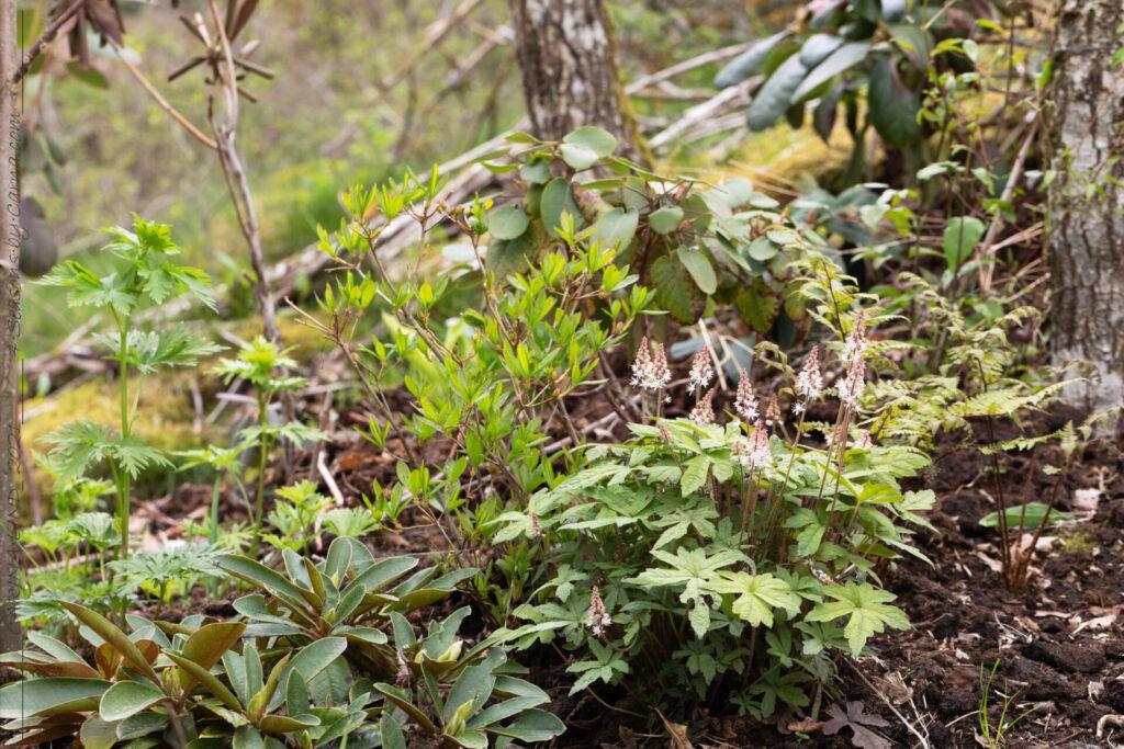 Norra lunden - Tiarella 'Spring Symhony' - spetsmössa