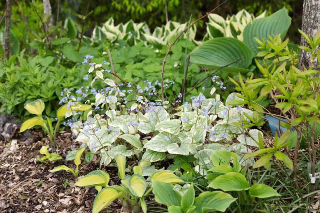 Sköna-gröna - Brunnera macrophylla 'Variegata' - kaukasisk förgätmigej
