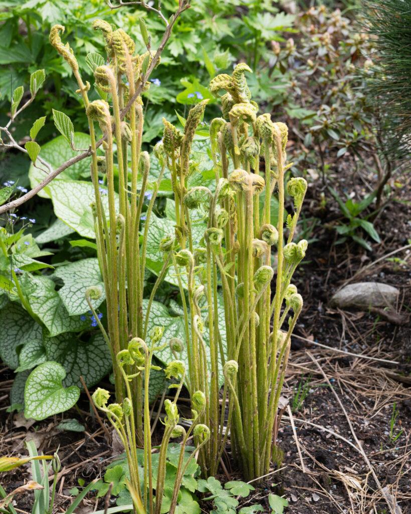 Sköna-gröna - Osmunda cinnamomea - kanelsafsa