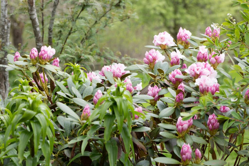 Rhododendron Yakushimanum-gruppen 'Schneekrone'