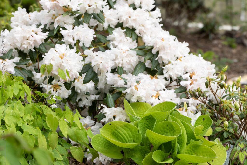 Sköna-gröna - Rhododendron 'Dora Amateis'