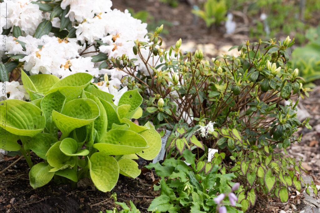 Sköna-gröna - hosta och rododendron
