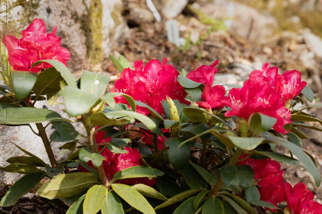 Rött - Rhododendron 'Bohlken's Roter Stern' - rododendron