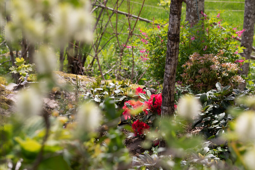 Rött - Rhododendron 'Rabatz' - rododendron