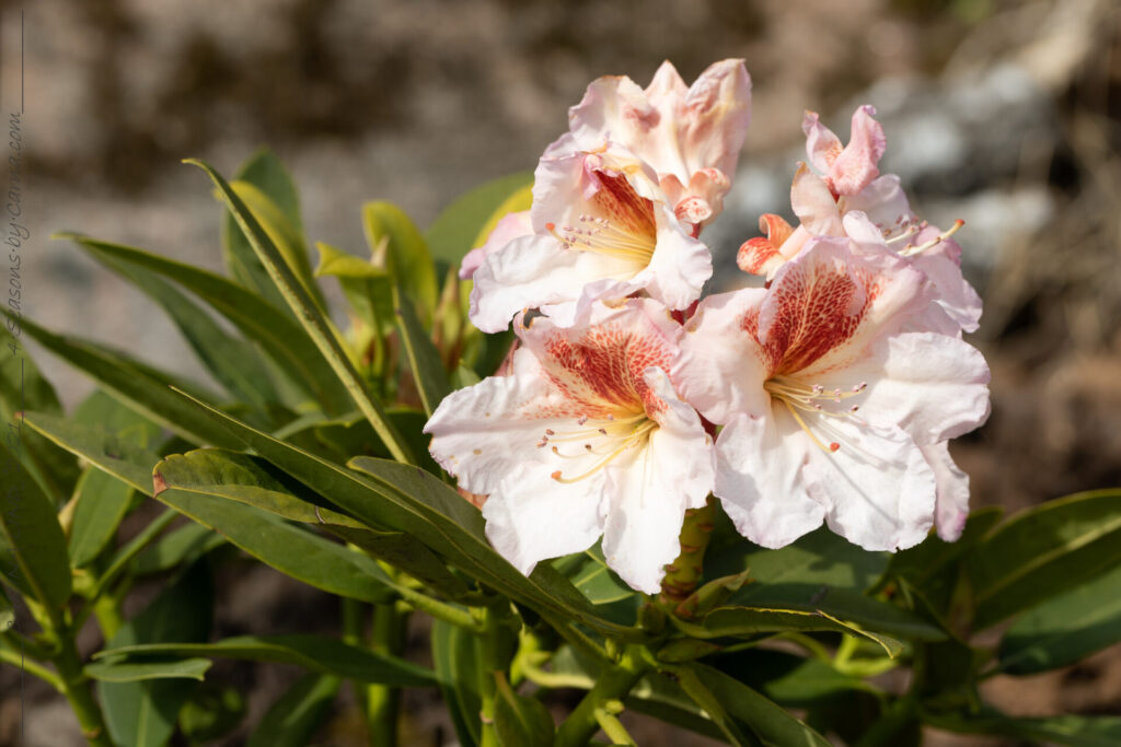 Rhododendron 'Villy's Sorbet'