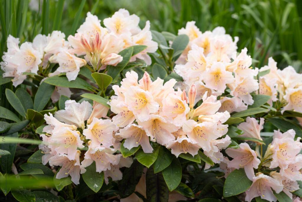 Rhododendron 'Gloria'