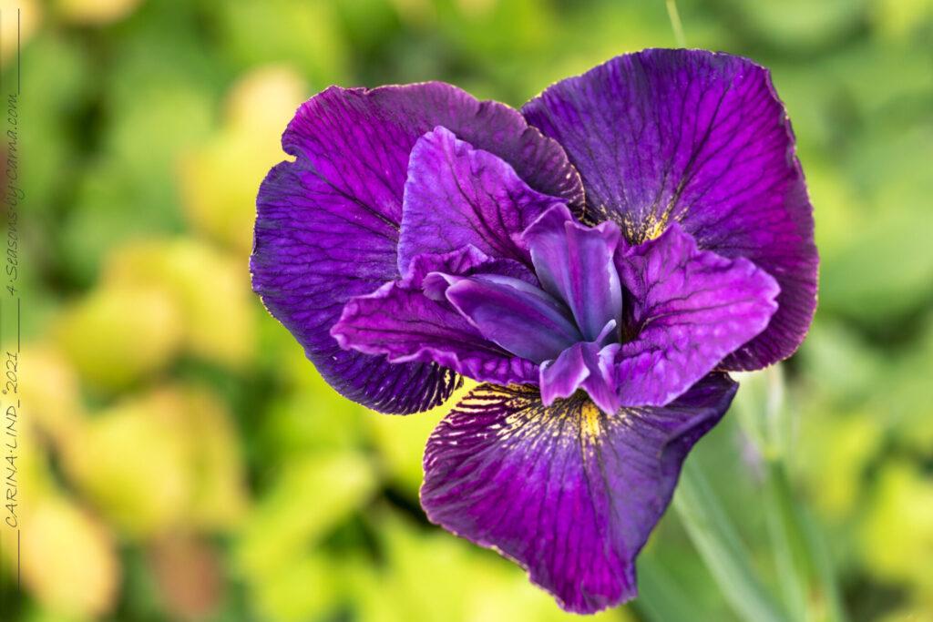 Strandirisarna - Iris sibirica 'Doreen Cambray'