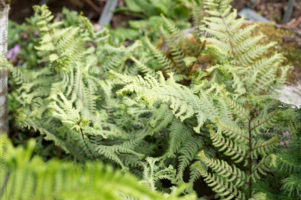 Midsommargrönska - Athyrium niponicum 'Ocean's Fury'