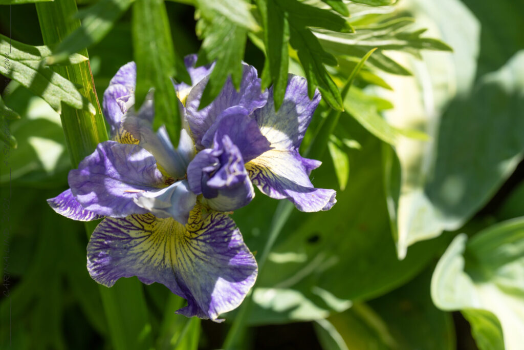 Strandirisarna - Iris sibirica 'Cape Cod Boys'