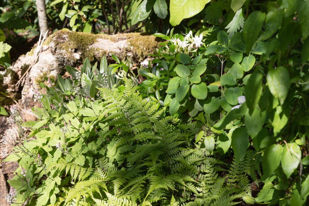 Naturen - Athyrium vidalii - pagodbräken
