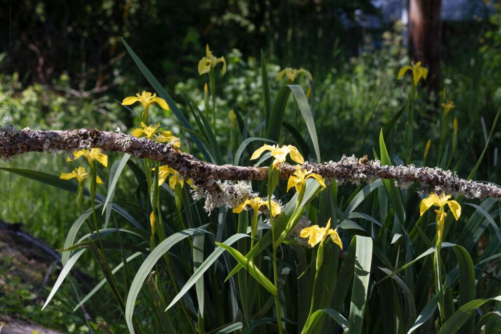 Midsommar - Iris pseudachorus, svärdslilja
