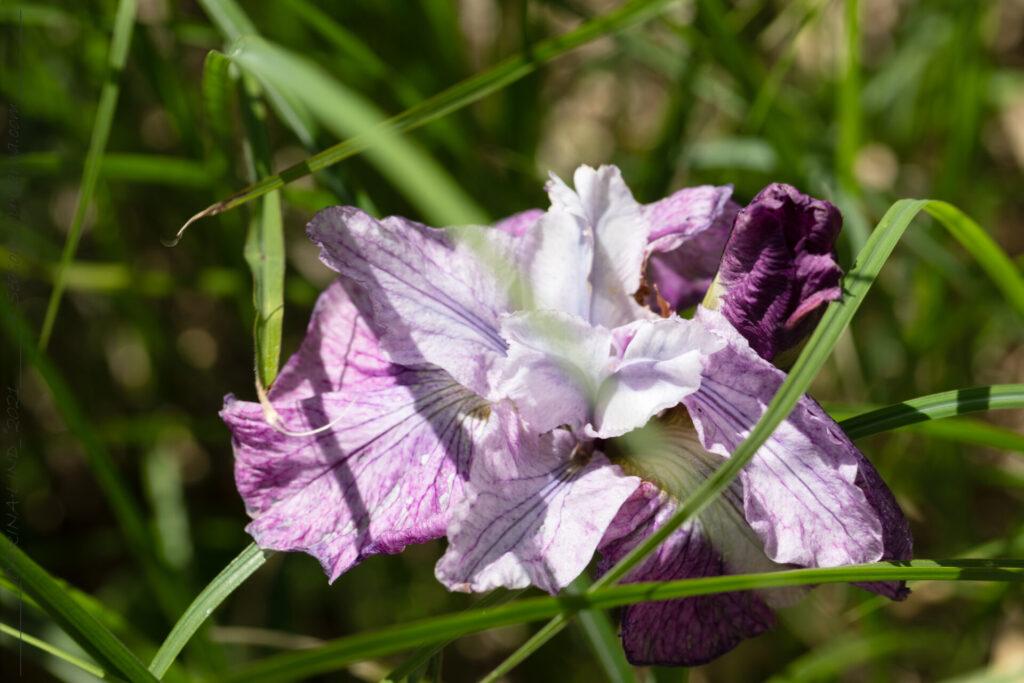 Iris sibirica 'Tornado Rose'