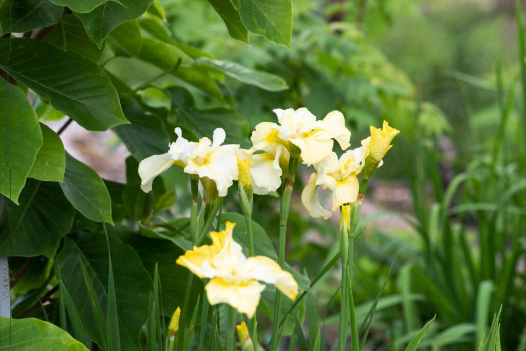 Iris sibirica 'Lemon Mousse' - strandiris
