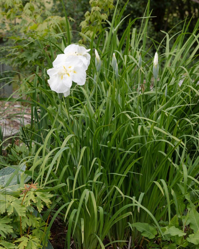 Japanska iris - Iris ensata 'Ling'