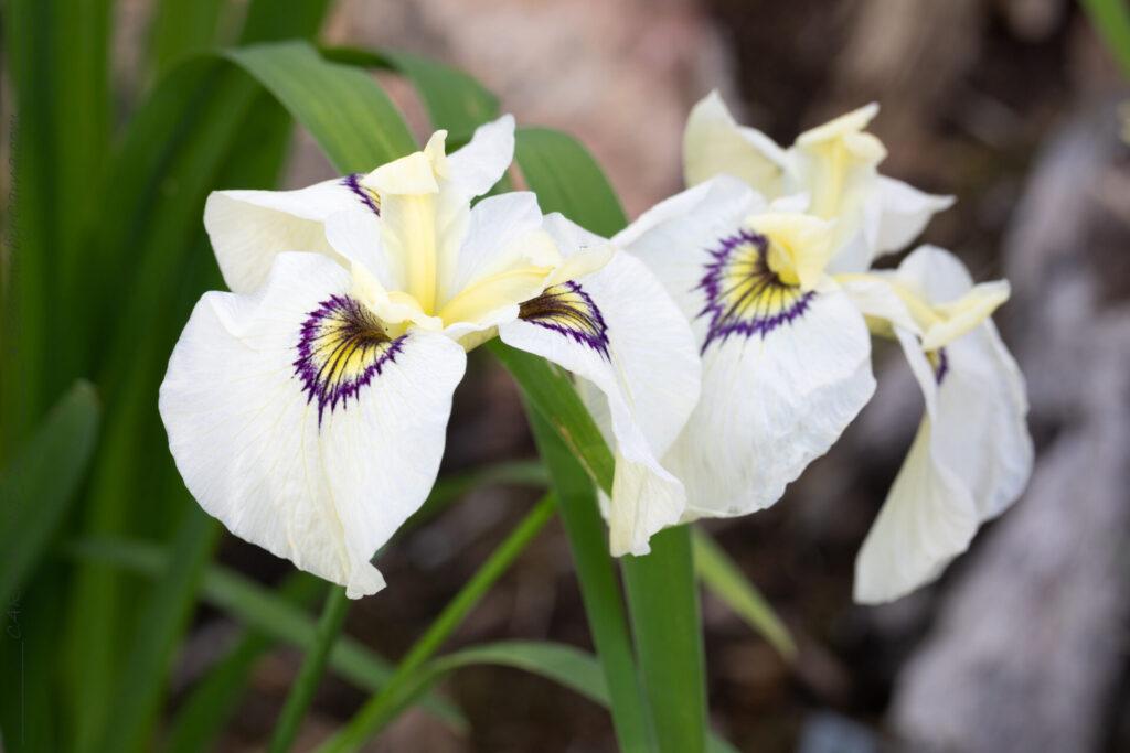 Iris pseudata 'Alabama Blue Fin'