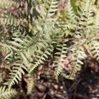 Ormbunkar - Athyrium iseanum 'Cristatum' x A. niponicum 'Purple Garden'