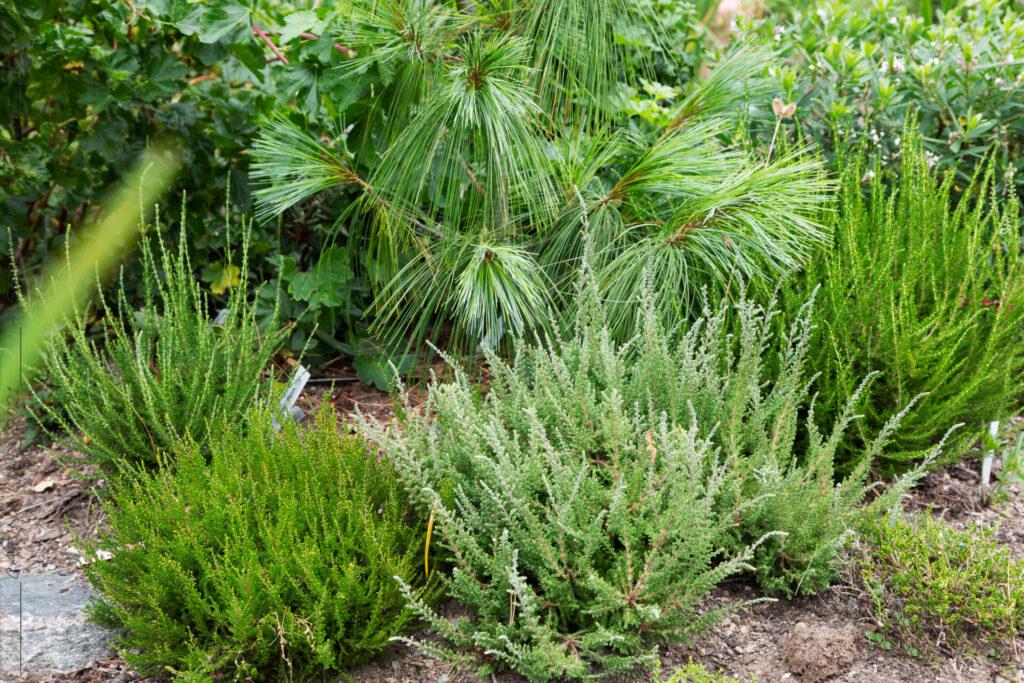 Höstljungen - Calluna vulgaris