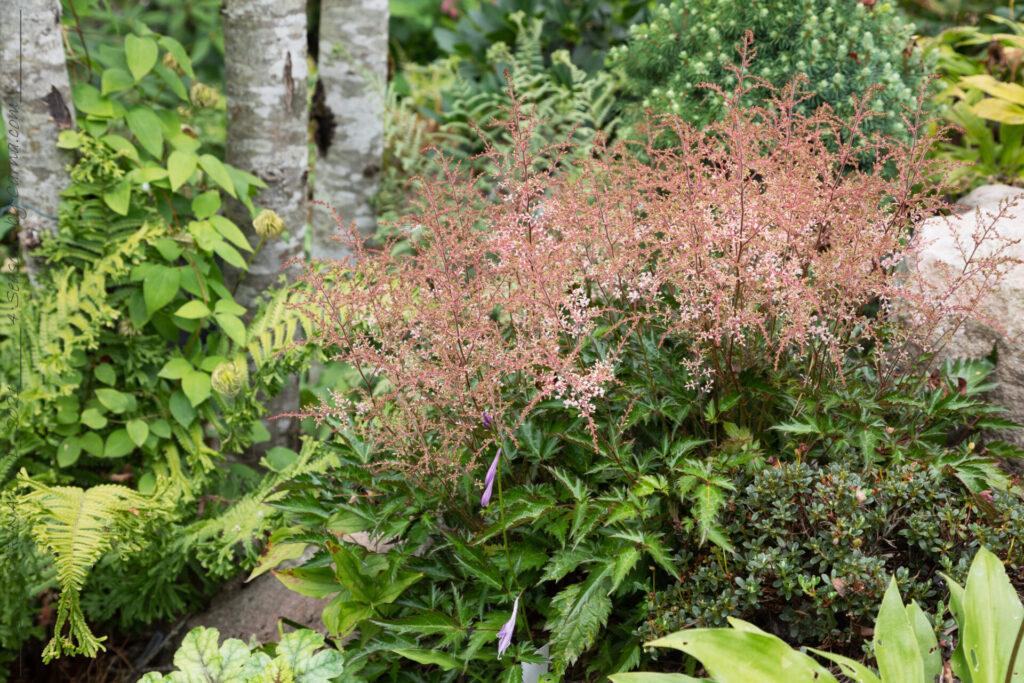 Astilbe Simplicifolia-grp 'Inshriach Pink'