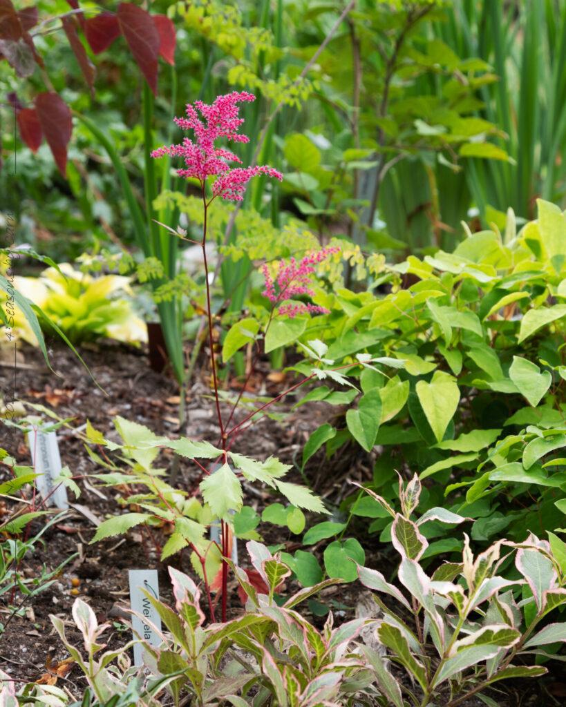 en-av-varje - Astilbe simplicifolia-grp 'Aphrodite'