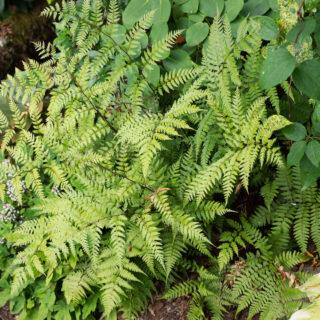 Athyrium vidalii - pagodbräken