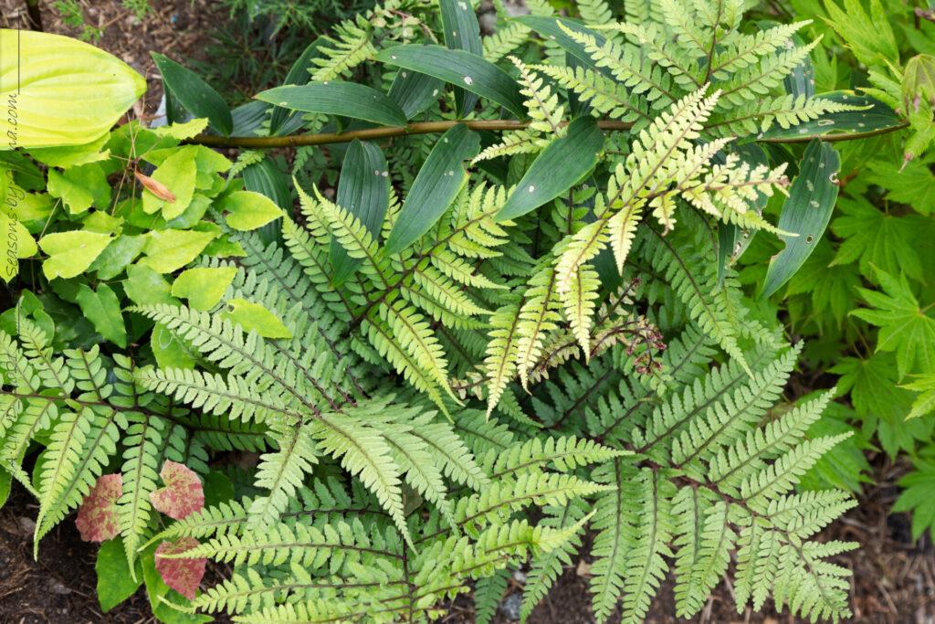 Athyriujm otophorum v. okanum - japansk öronbräken