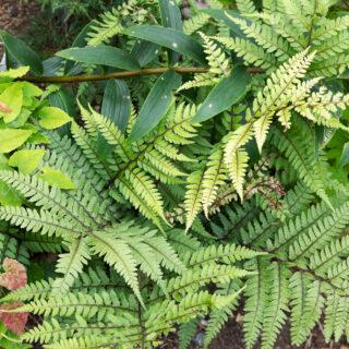 Ormbunkar - Athyriujm otophorum v. okanum - japansk öronbräken