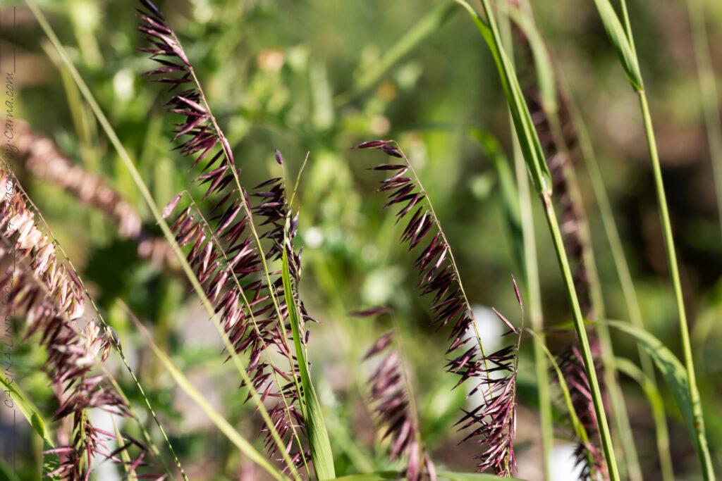 Gräsen - Melica altissima 'Atropurpurea' - jätteslok